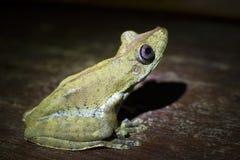 Brazilian tree frog Royalty Free Stock Image