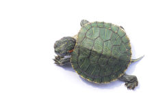The Brazilian turtle Stock Images