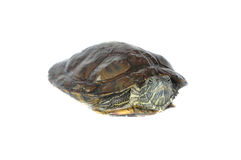 Brazilian turtle Royalty Free Stock Photography