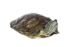Brazilian turtle Stock Photo
