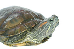 Brazilian turtle Stock Image