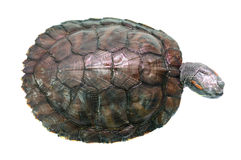 Brazilian turtle Stock Images