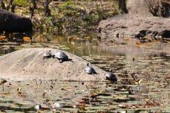 Brazilian turtles stock images