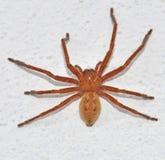 Brazilian venomous spider Royalty Free Stock Photo