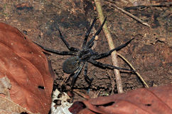 Brazilian Wandering Spider. (Phoneutria Boliviensis, aka Banana Spider), Drake Bay, Costa Rica Stock Photos