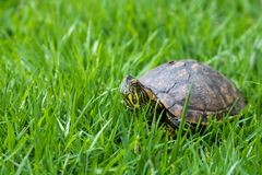 Brazilian water turtle Tigre D`água walking on a green grass, camouflaging. Fly on the helmet royalty free stock images