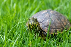 Brazilian water turtle Tigre D`água walking on a green grass, camouflaging. Fly on the helmet stock images