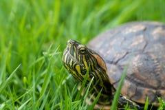 Brazilian water turtle Tigre D`água walking on a green grass, camouflaging stock image