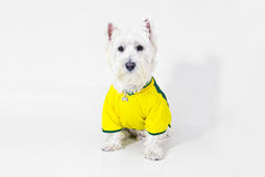 Brazilian west highland white terrier Stock Image