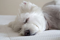 Brazilian Westie Taking a Nap Stock Photos