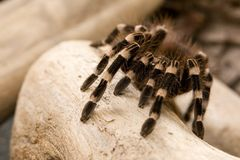 Brazilian White Knee Tarantula Royalty Free Stock Photos