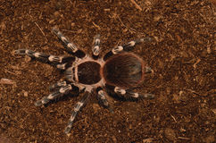 Brazilian White Stripe Tarantula Royalty Free Stock Images
