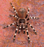 Brazilian White Stripe Tarantula. (Acanthoscurria geniculata). This medium to large tarantula resides in the forests of Brazil Stock Photo