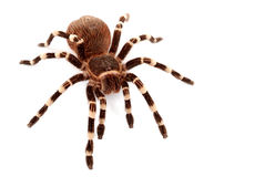 Brazilian White Stripe Tarantula (Acanthoscurria g. Eniculata). This medium to large tarantula resides in the forested areas of Brazil Royalty Free Stock Photography