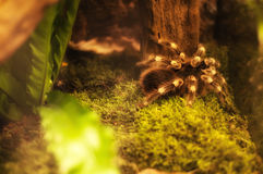 Brazilian whitebanded tarantula Royalty Free Stock Image