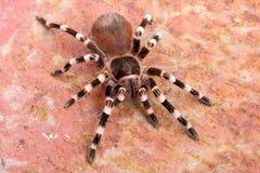 Brazilian Whiteknee Tarantula Royalty Free Stock Photography