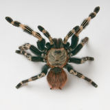 Brazilian whiteknee tarantula in attack Stock Image
