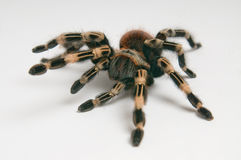 Brazilian whiteknee tarantula. Focus on head Royalty Free Stock Photography
