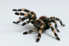 Brazilian whiteknee tarantula. Focus on legs Stock Photography