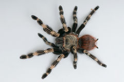 Brazilian whiteknee tarantula. View from top Stock Photography