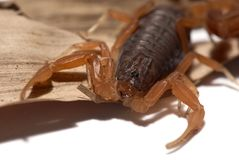 Brazilian yellow scorpion in close up. Tityus serrulatus scorpion. It is known as a especially venomous species. More venomous species usually have smaller and Stock Images