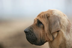 Brazilianmastiff Photos stock