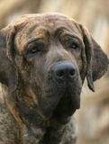 Brazilianmastiff stockfoto
