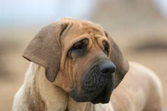 Brazilianmastiff lizenzfreies stockbild