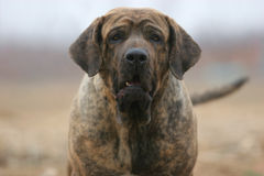 Brazilianmastiff lizenzfreies stockfoto