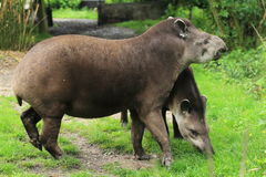 Brazilians tapirs Stock Image
