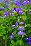 Brazilina snapdragon, Blue Hawaii flower Stock Photo