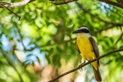Brazillian Beautiful Bird. In the forest of Sumare, Sao Paulo, Brazil Royalty Free Stock Images