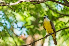 Brazillian Beautiful Bird. In the forest of Sumare, Sao Paulo, Brazil Royalty Free Stock Photography