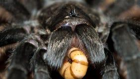 Brazillian Black Tarantula Worm Tongue. Grammostola pulchra brazillian black tarantula eating superworm with piece in mouth Stock Photos