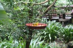 Brazillian Finch Sicalis Szafranowy flaveola dostrzegający outdoors w dzikim tła ptasia dziecięca bezszwowa tekstury tapeta Fotografia Royalty Free
