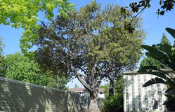 Brazillian Peppertree (Schinus terebinthifolius) in Laguna Woods, Caliornia. Image shows a Brazillian Peppertree (Schinus terebinthifolius Stock Images