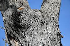 Brazillian Peppertree (Schinus terebinthifolius) in Laguna Woods, Caliornia. Image shows tree bark of a Brazillian Peppertree (Schinus Stock Photos