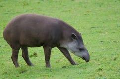 Brazillian tapir Obraz Stock