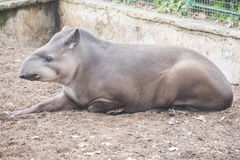 Brazillian tapir resting lying on the ground, Tapirus terrestris.  Stock Image