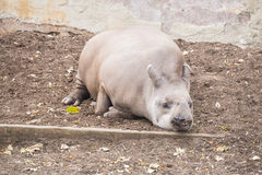 Brazillian tapir sleeping lying on the ground, Tapirus terrestri. S Stock Photo
