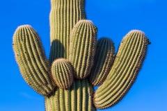 Brazos del cactus del Saguaro Foto de archivo