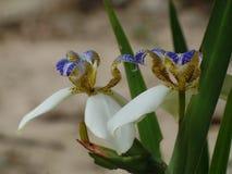 Brazylijczyka Neomarica Candida kwiat w ogródzie Zdjęcie Royalty Free