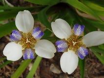 Brazylijczyka Neomarica Candida kwiat w ogródzie Zdjęcie Stock