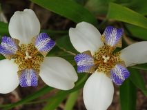 Brazylijczyka Neomarica Candida kwiat w ogródzie Obrazy Royalty Free