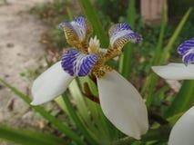 Brazylijczyka Neomarica Candida kwiat w ogródzie Zdjęcia Royalty Free