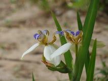 Brazylijczyka Neomarica Candida kwiat w ogródzie Obraz Royalty Free