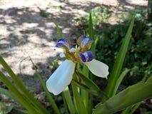 Brazylijczyka Neomarica Candida kwiat w ogródzie Obraz Stock