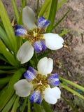 Brazylijczyka Neomarica Candida kwiat w ogródzie Fotografia Stock