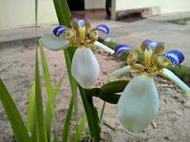 Brazylijczyka Neomarica Candida kwiat w ogródzie Obrazy Stock