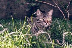 Brazylijczyka Shorthair kot Trzyma jego Ulubioną sznur zabawkę na trawie Zdjęcie Royalty Free